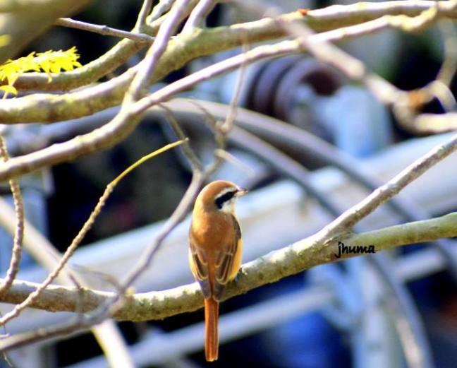 Pobitora Birds, Assam Birdwatching, Kaziranga Birdwatching, Manas Birdwatching, Nameri Birdwatching